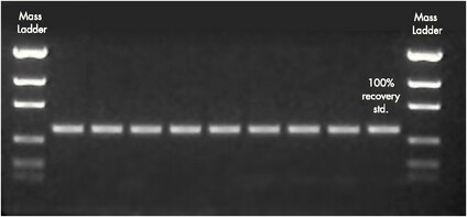 Agarose gel showing reproducibility of recovery of a 500 bp PCR product with MultiScreen PCR<sub>96</sub> filter plate.